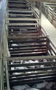 Pens of Graded Feeder Pigs